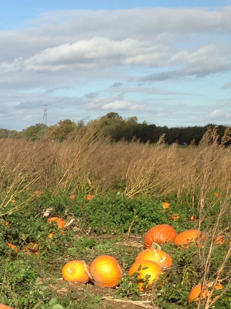 Willows Farm pumpkin patch